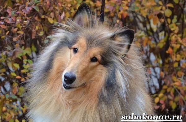 Колли-собака-Описание-особенности-уход-и-цена-колли