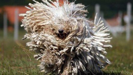 Комондор собака. Описание, особенности, уход и цена породы комондор