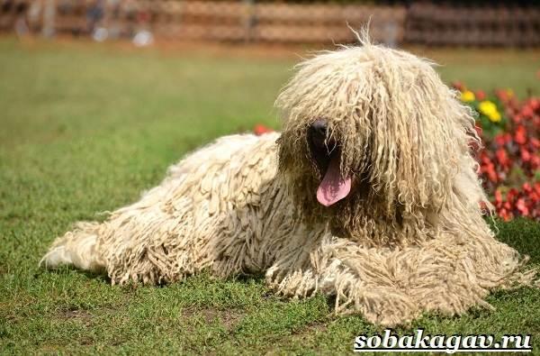 Комондор-собака-Описание-особенности-уход-и-цена-породы-комондор-2
