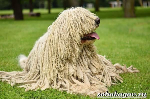 Комондор-собака-Описание-особенности-уход-и-цена-породы-комондор-4