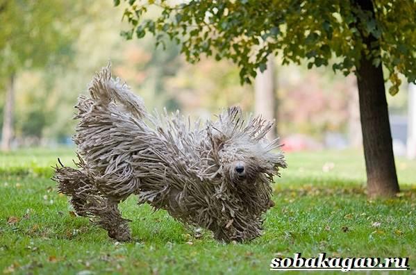 Комондор-собака-Описание-особенности-уход-и-цена-породы-комондор-5