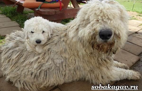 Комондор-собака-Описание-особенности-уход-и-цена-породы-комондор-6