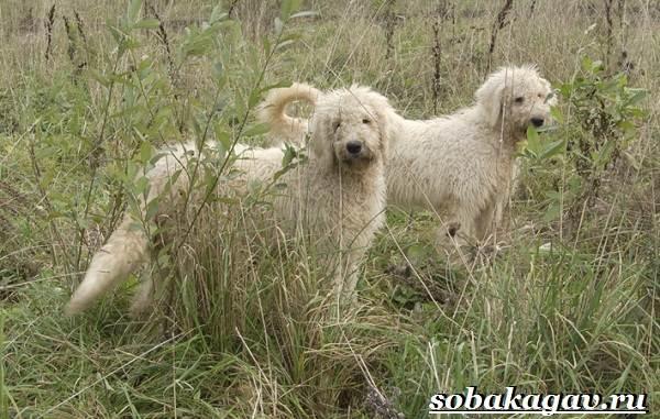 Комондор-собака-Описание-особенности-уход-и-цена-породы-комондор-8