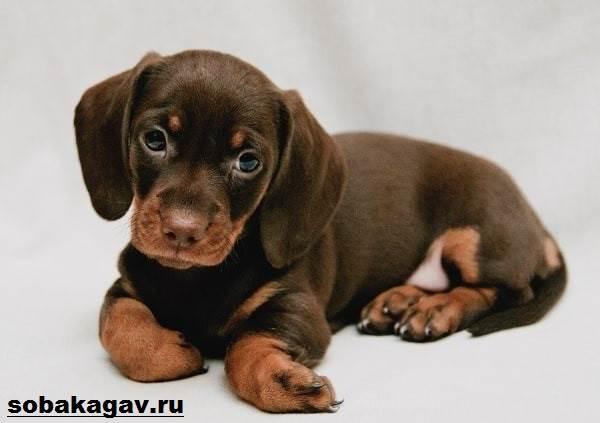 Кроличья-такса-собака-Описание-особенности-уход-и-цена-кроличьей-таксы-10