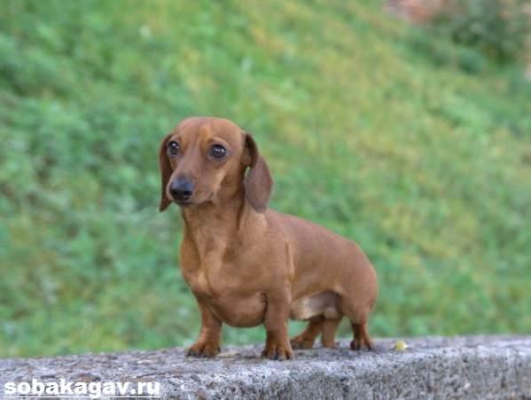 Кроличья-такса-собака-Описание-особенности-уход-и-цена-кроличьей-таксы-2