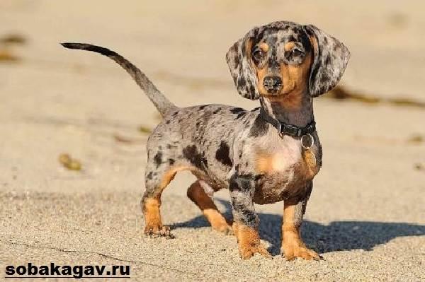 Кроличья-такса-собака-Описание-особенности-уход-и-цена-кроличьей-таксы-4
