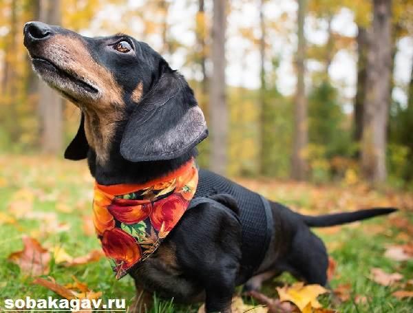 Кроличья-такса-собака-Описание-особенности-уход-и-цена-кроличьей-таксы-6