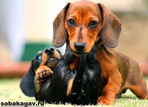 Кроличья-такса-собака-Описание-особенности-уход-и-цена-кроличьей-таксы-8