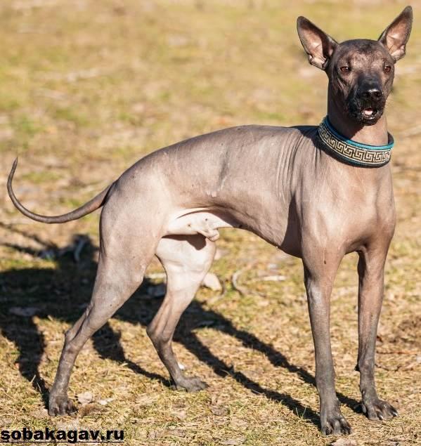 Ксолоитцкуинтли-собака-Описание-особенности-уход-и-цена-ксолоитцкуинтли-1