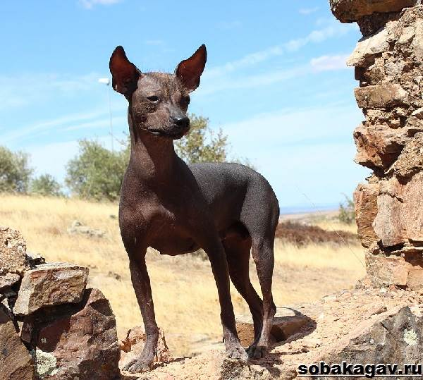 Ксолоитцкуинтли-собака-Описание-особенности-уход-и-цена-ксолоитцкуинтли-10