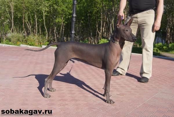 Ксолоитцкуинтли-собака-Описание-особенности-уход-и-цена-ксолоитцкуинтли-11