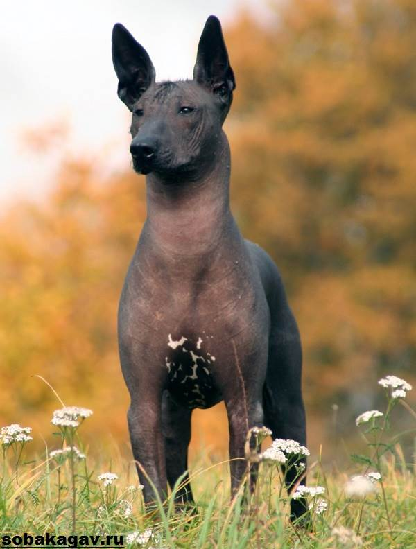 Ксолоитцкуинтли-собака-Описание-особенности-уход-и-цена-ксолоитцкуинтли-2