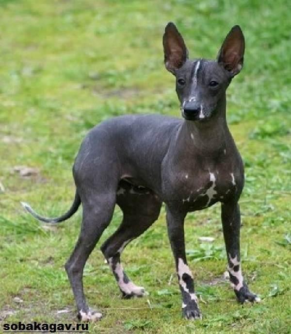 Ксолоитцкуинтли-собака-Описание-особенности-уход-и-цена-ксолоитцкуинтли-3
