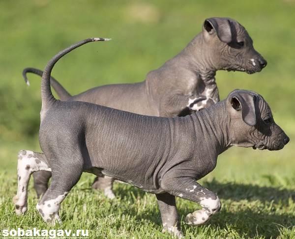 Ксолоитцкуинтли-собака-Описание-особенности-уход-и-цена-ксолоитцкуинтли-5