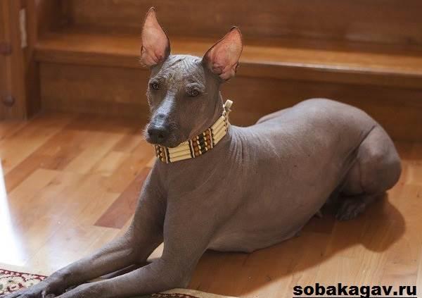 Ксолоитцкуинтли-собака-Описание-особенности-уход-и-цена-ксолоитцкуинтли-6