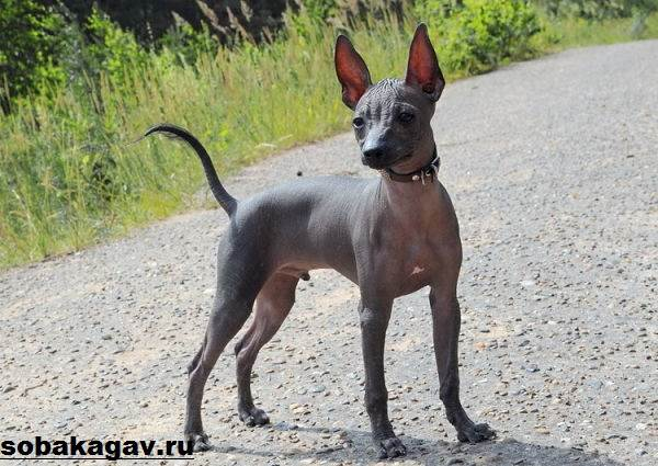 Ксолоитцкуинтли-собака-Описание-особенности-уход-и-цена-ксолоитцкуинтли-8