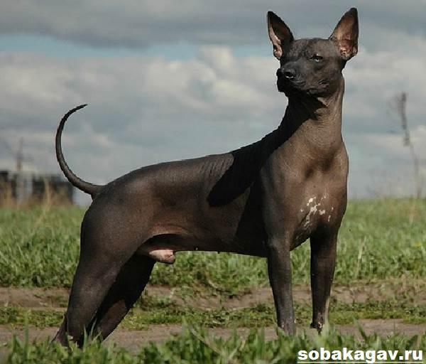 Ксолоитцкуинтли-собака-Описание-особенности-уход-и-цена-ксолоитцкуинтли-9