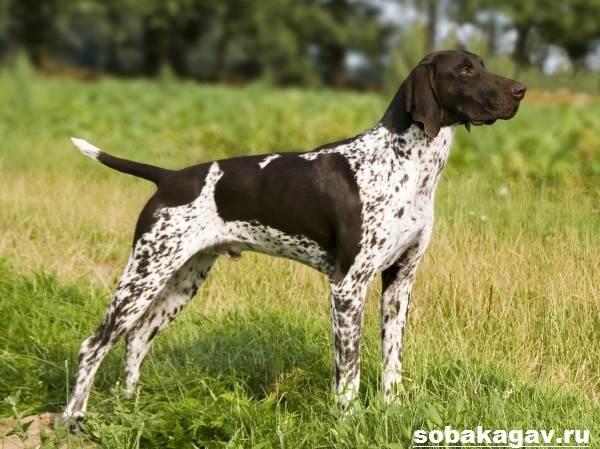 Курцхаар-собака-Описание-особенности-уход-и-цена-курцхаара-1