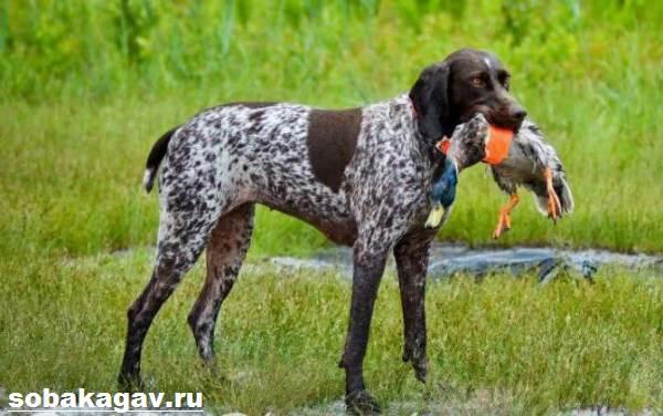 Курцхаар-собака-Описание-особенности-уход-и-цена-курцхаара-11