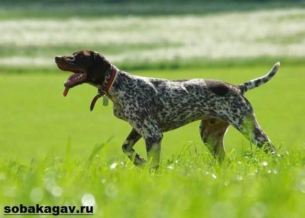 Курцхаар-собака-Описание-особенности-уход-и-цена-курцхаара-2