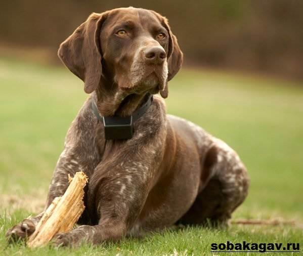 Курцхаар-собака-Описание-особенности-уход-и-цена-курцхаара-3