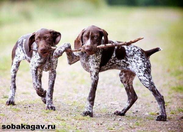 Курцхаар-собака-Описание-особенности-уход-и-цена-курцхаара-4