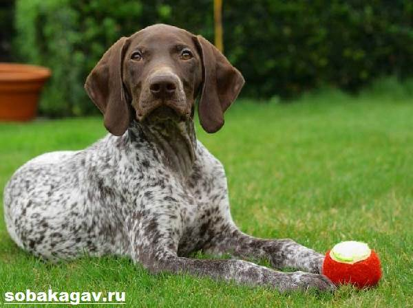 Курцхаар-собака-Описание-особенности-уход-и-цена-курцхаара-5