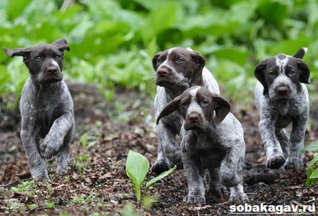 Курцхаар-собака-Описание-особенности-уход-и-цена-курцхаара-6