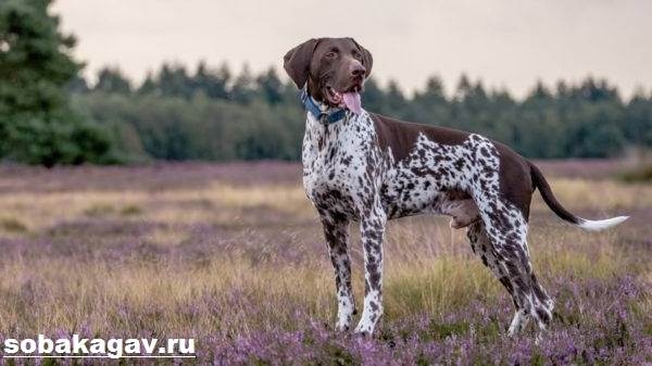 Курцхаар-собака-Описание-особенности-уход-и-цена-курцхаара-8