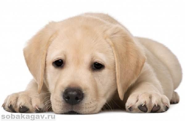 Лабрадор-ретривер-собака-Описание-особенности-уход-и-цена-лабрадора-ретривера-1