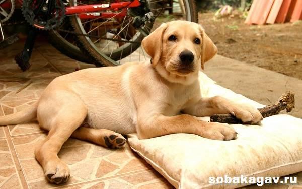 Лабрадор-ретривер-собака-Описание-особенности-уход-и-цена-лабрадора-ретривера-3