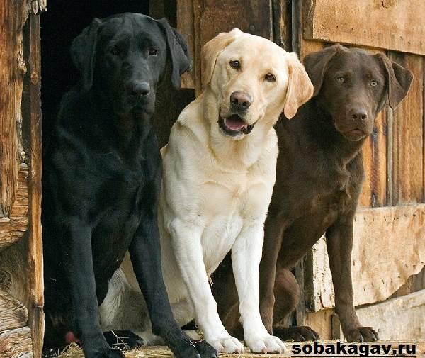 Лабрадор-ретривер-собака-Описание-особенности-уход-и-цена-лабрадора-ретривера-4
