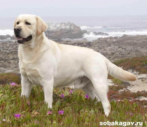 Лабрадор-ретривер-собака-Описание-особенности-уход-и-цена-лабрадора-ретривера-5