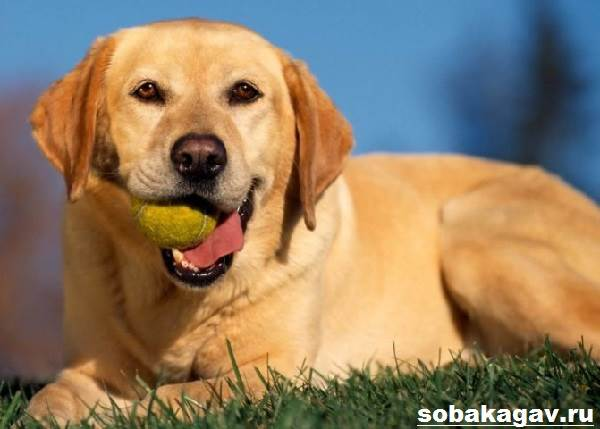 Лабрадор-ретривер-собака-Описание-особенности-уход-и-цена-лабрадора-ретривера-7