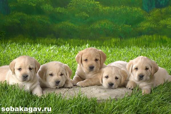 Лабрадор-ретривер-собака-Описание-особенности-уход-и-цена-лабрадора-ретривера-8