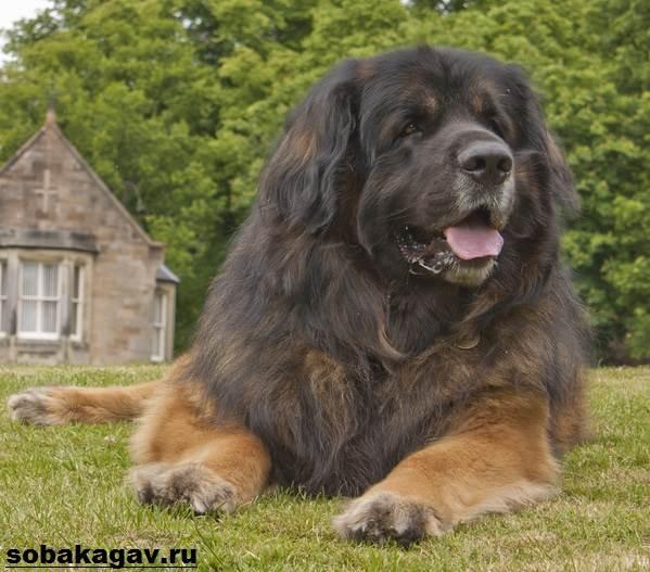 Леонбергер-собака-Описание-особенности-уход-и-цена-леонбергера-3