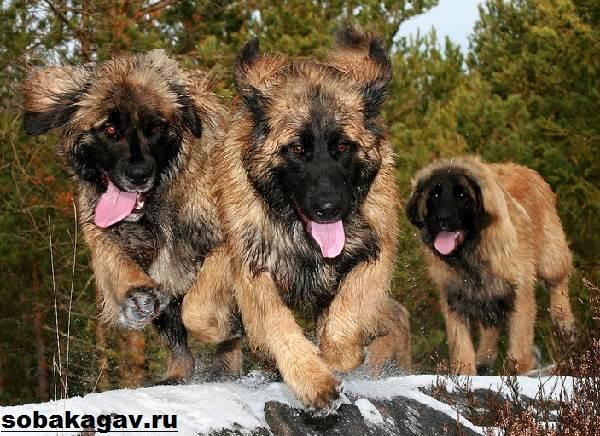 Леонбергер-собака-Описание-особенности-уход-и-цена-леонбергера-8