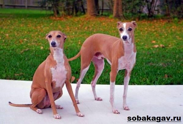 Левретка-собака-Описание-особенности-уход-и-цена-левретки-1