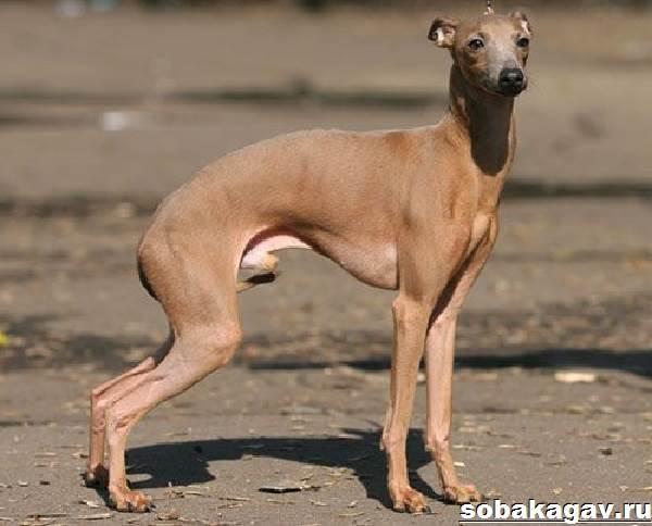 Левретка-собака-Описание-особенности-уход-и-цена-левретки-10