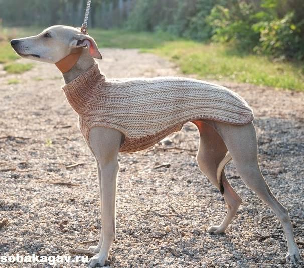 Левретка-собака-Описание-особенности-уход-и-цена-левретки-11