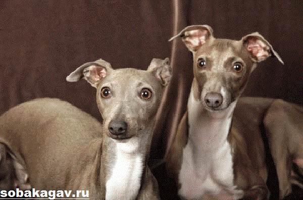 Левретка-собака-Описание-особенности-уход-и-цена-левретки-2
