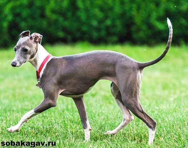 Левретка-собака-Описание-особенности-уход-и-цена-левретки-3
