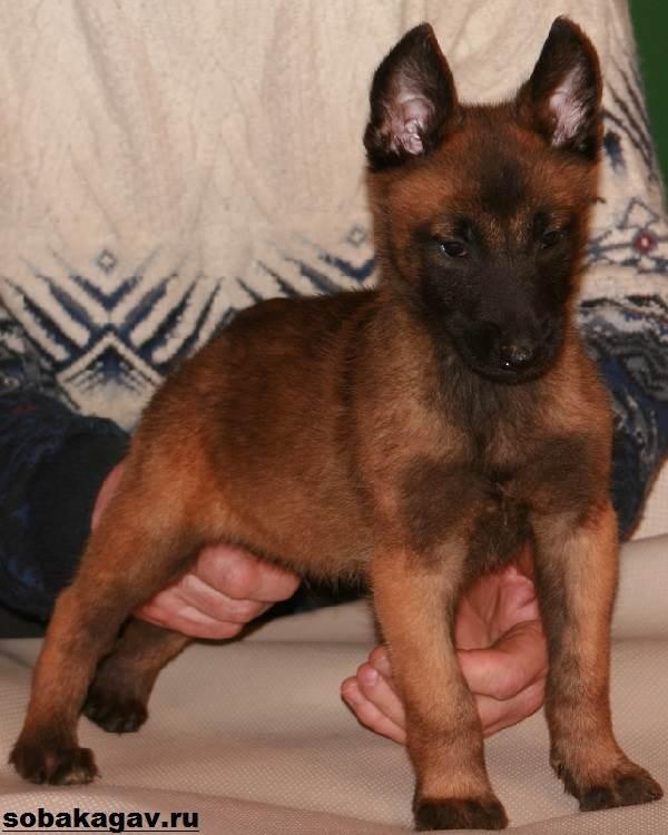 Малинуа-собака-Описание-особенности-уход-и-цена-породы-малинуа-10