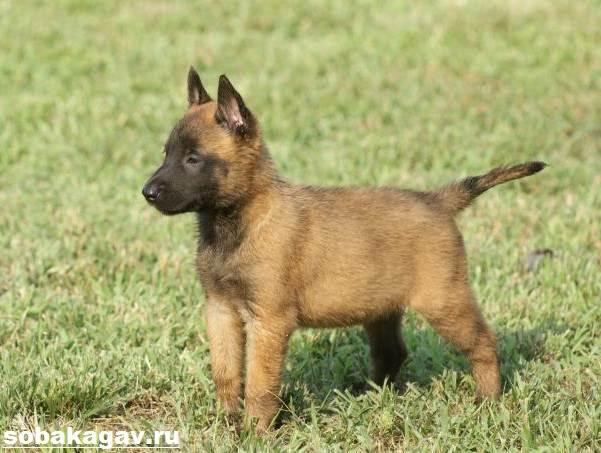 Малинуа-собака-Описание-особенности-уход-и-цена-породы-малинуа-2