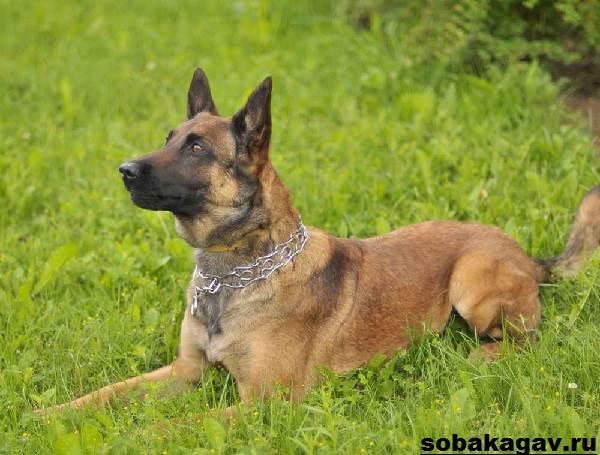 Малинуа-собака-Описание-особенности-уход-и-цена-породы-малинуа-4