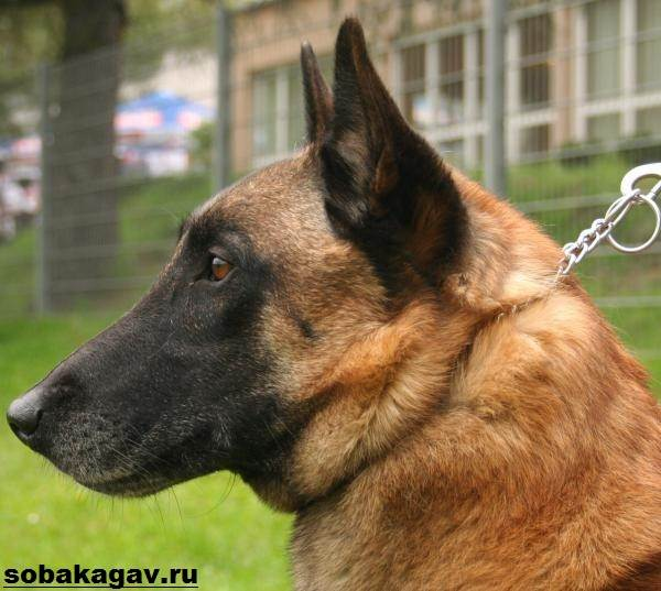 Малинуа-собака-Описание-особенности-уход-и-цена-породы-малинуа-6