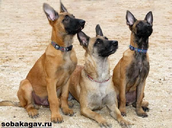 Малинуа-собака-Описание-особенности-уход-и-цена-породы-малинуа-7