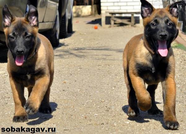 Малинуа-собака-Описание-особенности-уход-и-цена-породы-малинуа-8