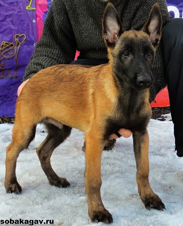 Малинуа-собака-Описание-особенности-уход-и-цена-породы-малинуа-9