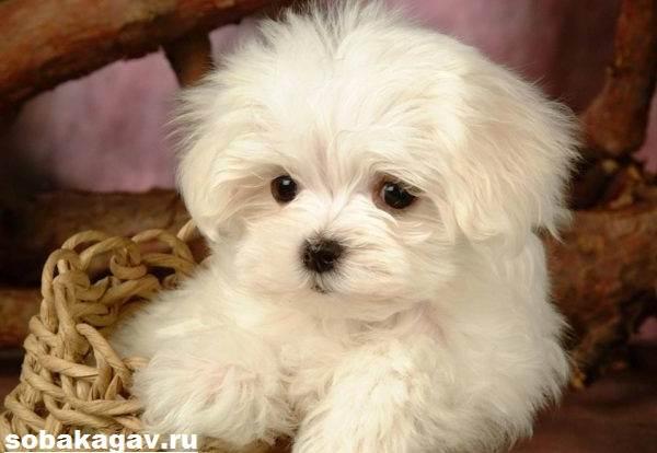 Мальтийская-болонка-собака-Описание-особенности-уход-и-цена-мальтийской-болонки-1